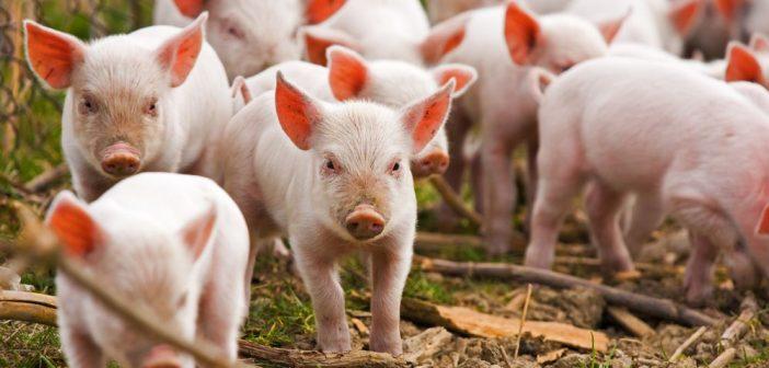 Hunedoara : Peste 10.000 de porci vor fi uciși din cauza pestei porcine la o fermă din Turdaș